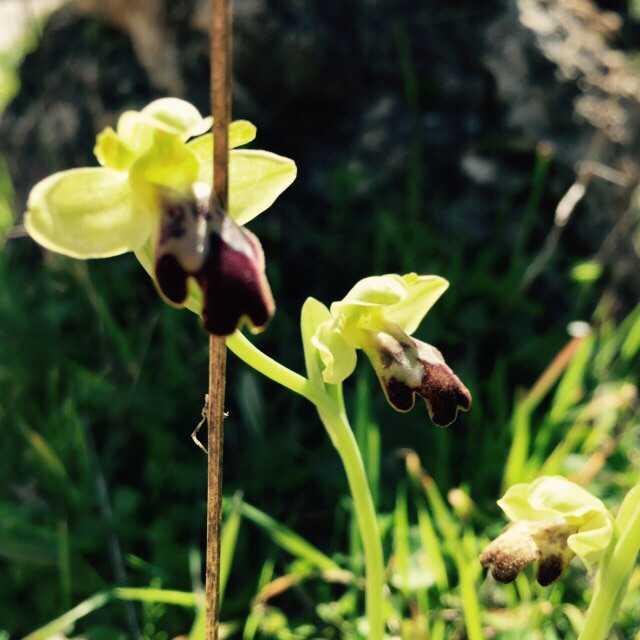 orchideen in tramuntana