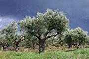 Route der Olivenbäume