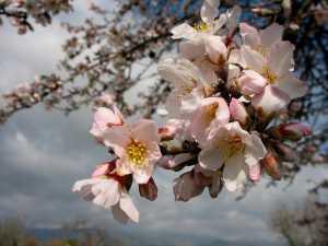 Mandelblüte Saison beginnt..